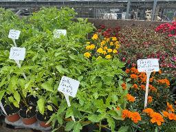 Gelbe Tomaten Pflanze