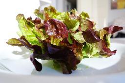 Eichblatt rot Salat