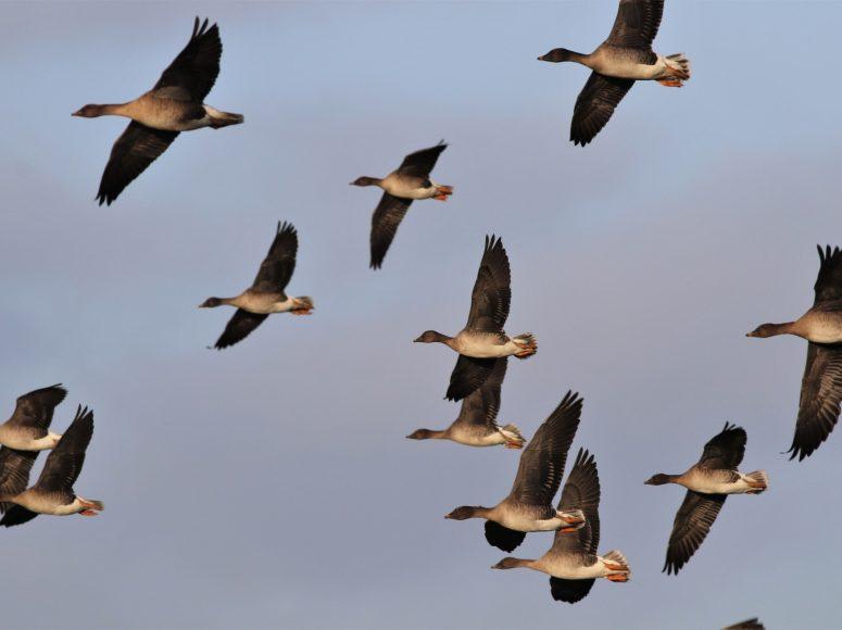 Vliegende toendrarietganzen