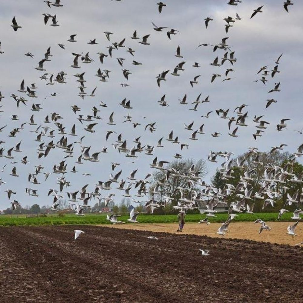 Landbouwgrond vogels Kees Stoop 3