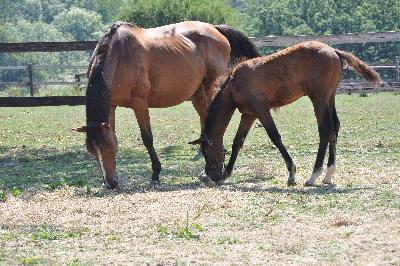 Iron de Belle Vue - foal