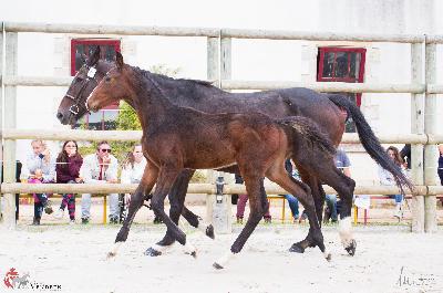 Trophée du foal vendéen - septembre 2018 ( 3 mois)