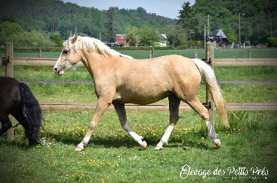 Honey Drop Petits Prés, Poney de Dressage à Vendre