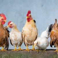 Chicken 4849979 1920