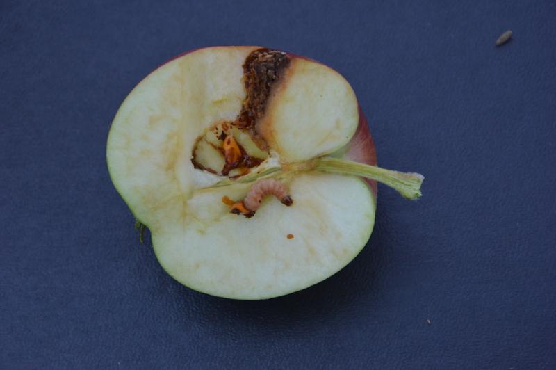 Parazitické  hlístice na obaleče jablečného