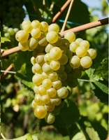Pinot blanc web%282%29