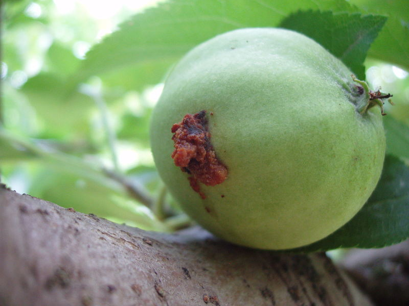 MADEX, MADEX Top proti obaleči jablečnému