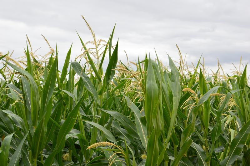 Pozvánka na polní den kukuřice LG