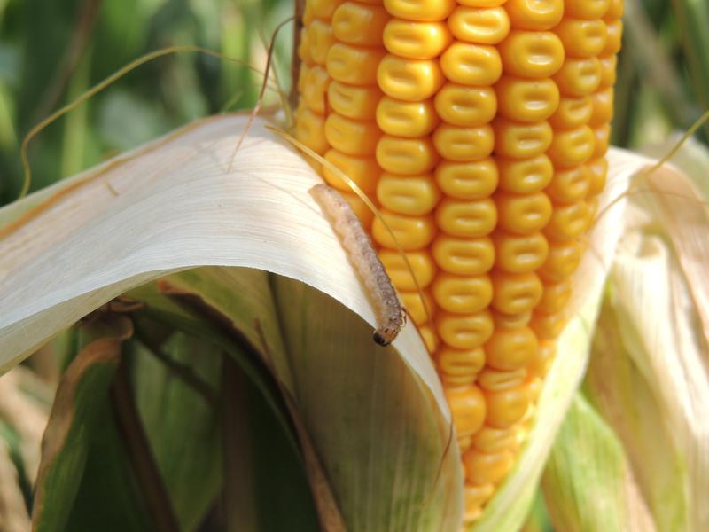 Kukuřice v praxi  (10.1. - 17.1. 2019)