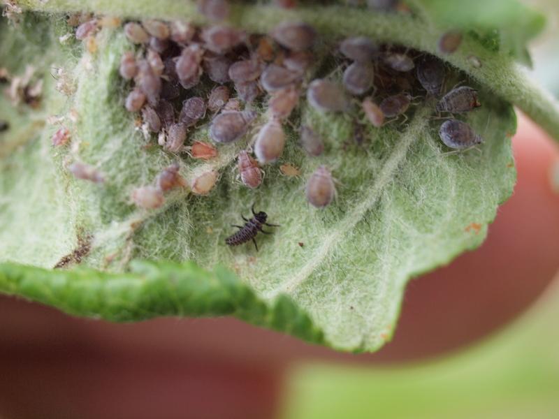Proti mšicím v sadech co nejčasněji