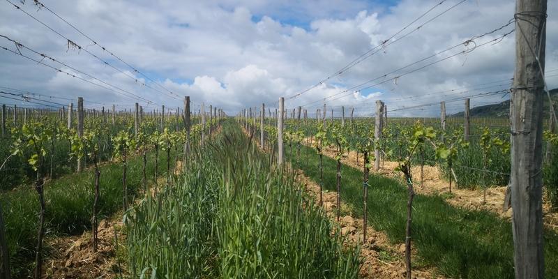 Optimální termín výsevu zeleného hnojení