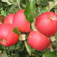Jablka 1