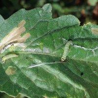 Adult tuta absoluta and mining damage on tomato leaf