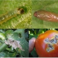 Tuta absoluta tomato leaf miner