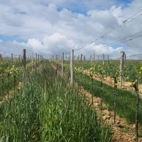 Optimálny termín výsevu zeleného hnojenia