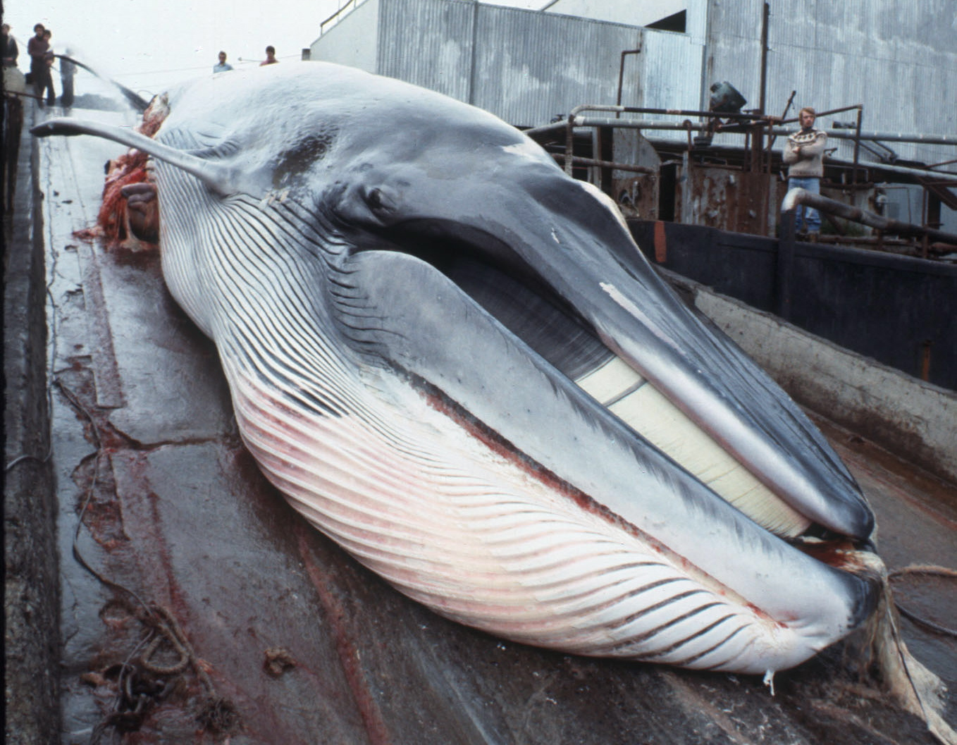 stop killing whales Hunters claim that most journalists lack knowledge of the catch methods used to capture and kill the whales countries opposed to whaling have passed non-binding resolutions in the iwc.