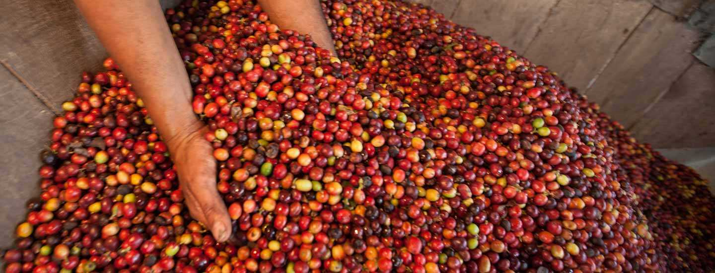 Image of farmer scooping coffee cherries