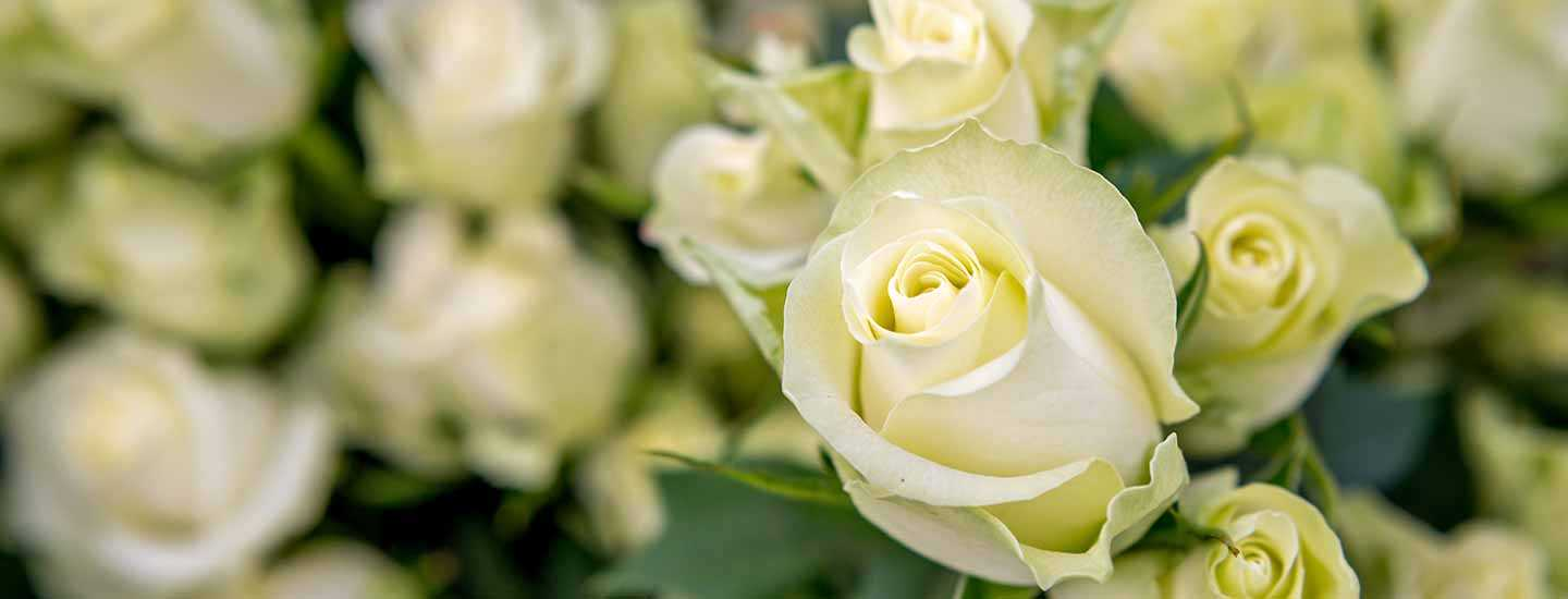 Image of white roses at Fairtrade flower farm