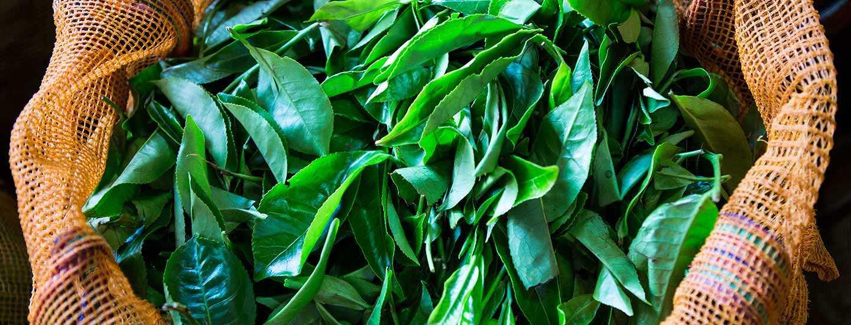 Image of fresh tea leaves