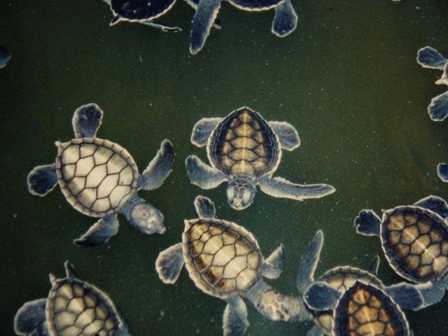 gerettete Meeresschildkröten im Aufwuchsbecken