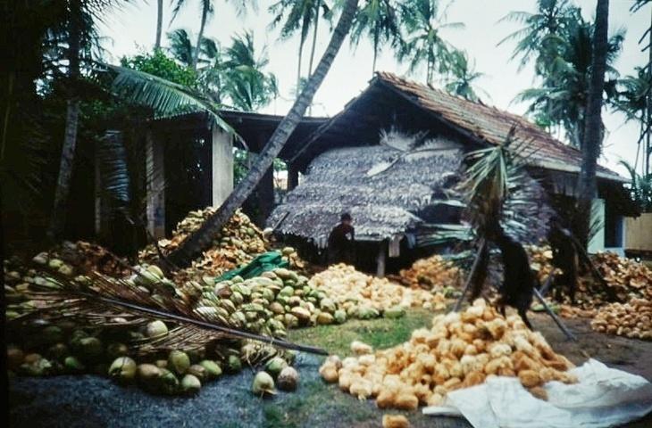 Kokosnüsse, Kokosnüsse, Kokosnüsse