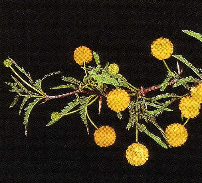 Acacia erioloba - Blaetter Blueten