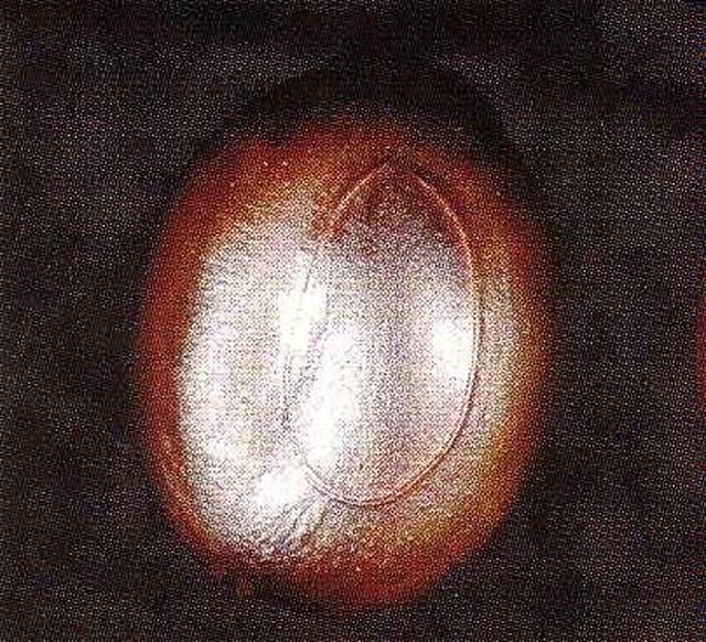 Acacia erioloba - Samen