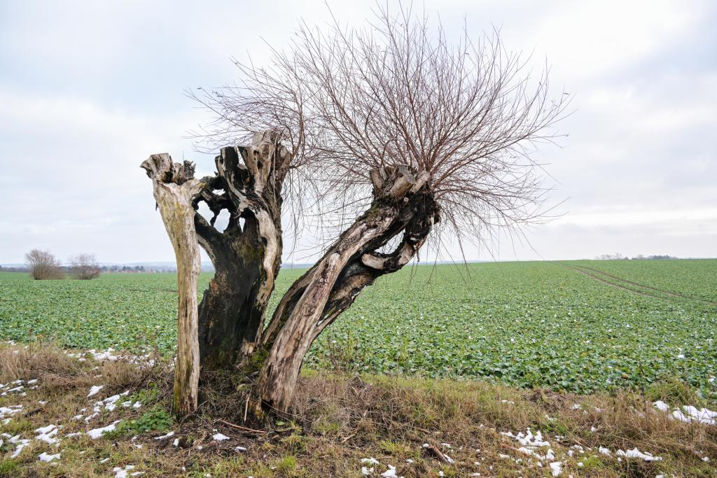 Toter Weidenbaum