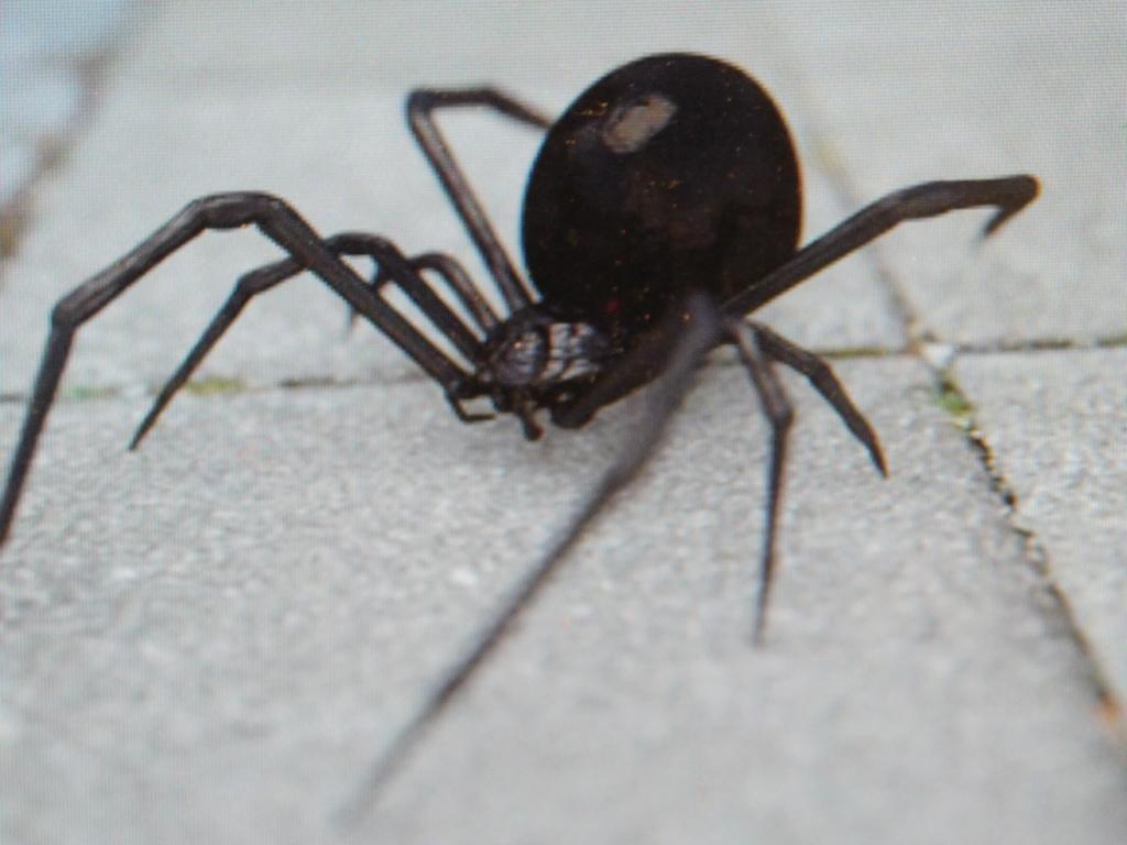 Schwarze Witwe-Spinne
