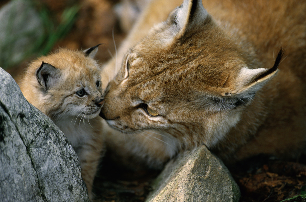 Luchs Mutter und Kind