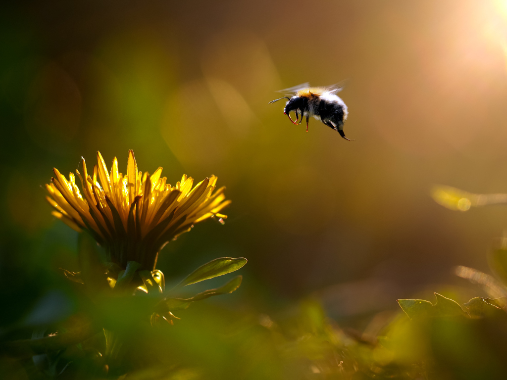 Hummel steuert eine Blume an