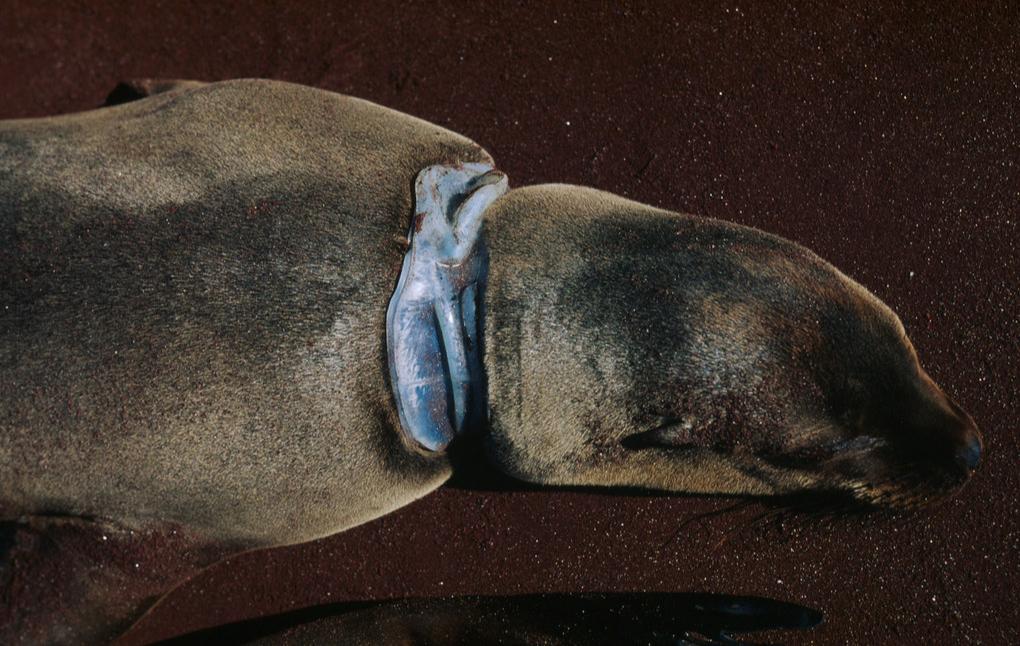 Seehund mit Plastik