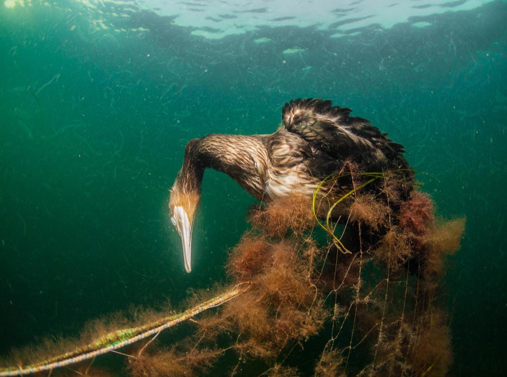 Kormoran in Plastiknetz