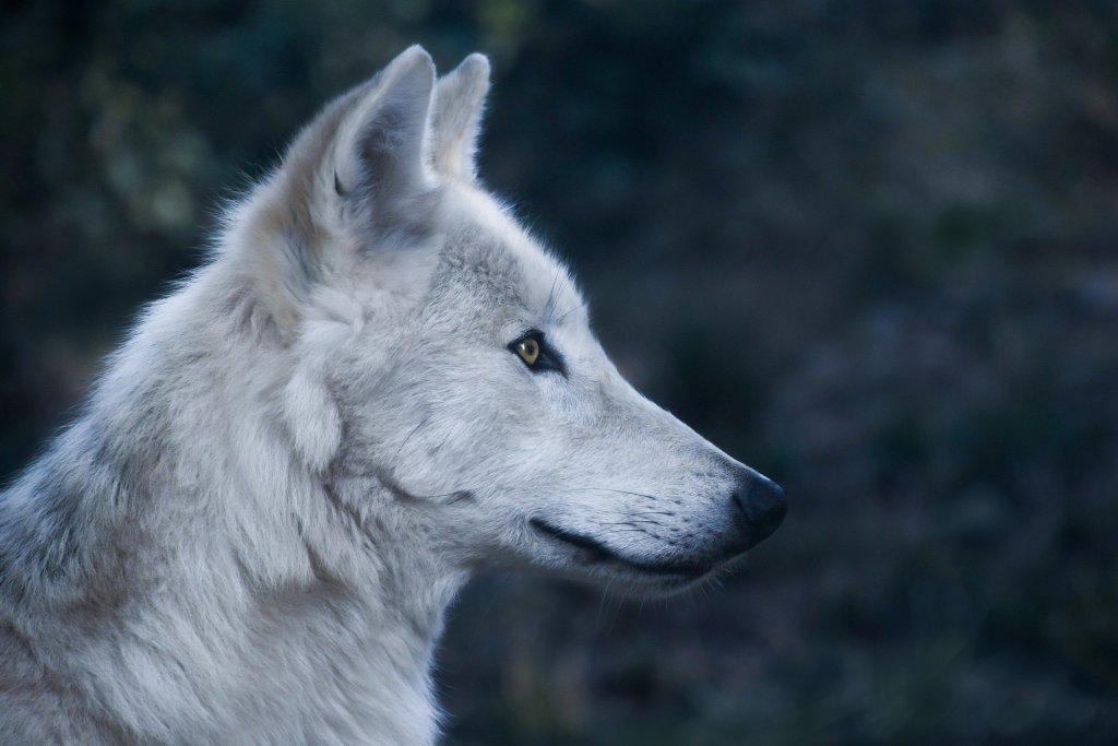 Wölfin