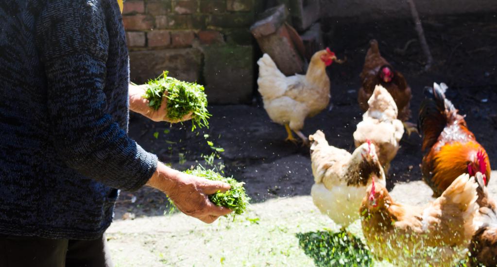 Person füttert Hühner