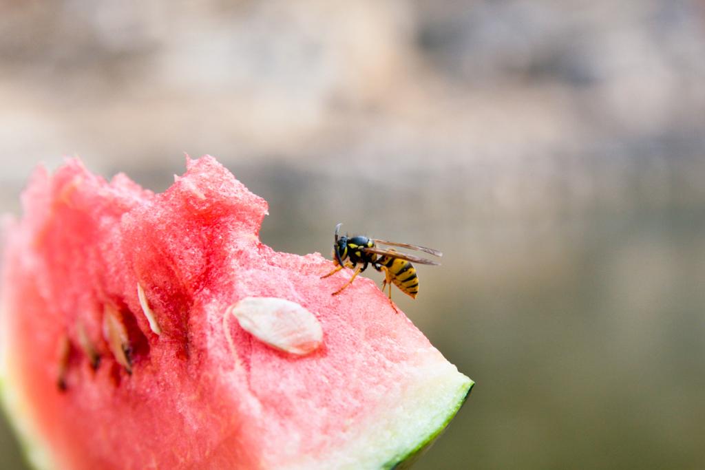 Wespe auf einem Stück Wassermelone
