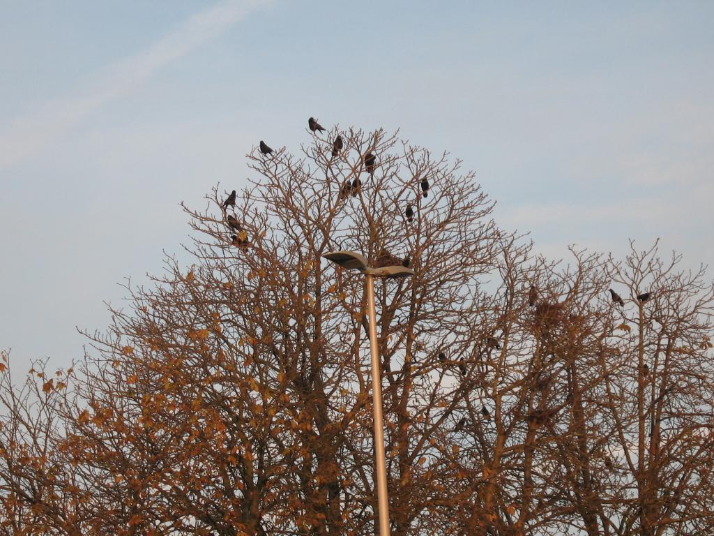 Krähen auf einem Baum