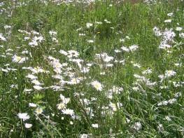Blumenwiese.jpg