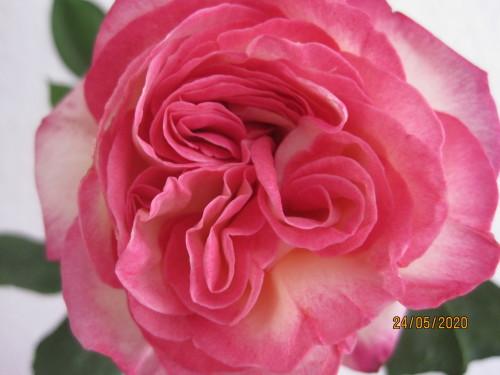 Die Rose 003.JPG