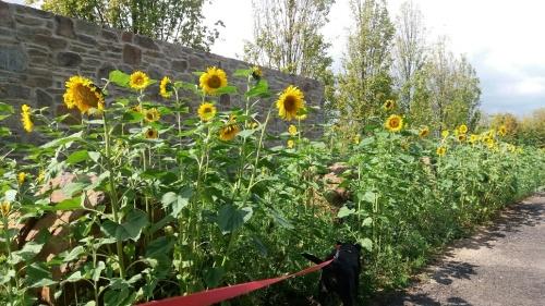 Sonnenblumen an der Mauer.jpg