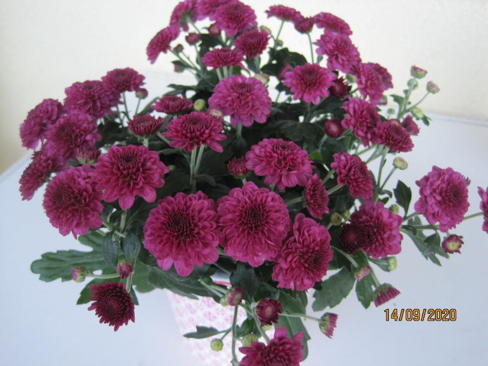 Chrysanthemen 003.JPG