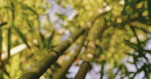 Natur, Bambus