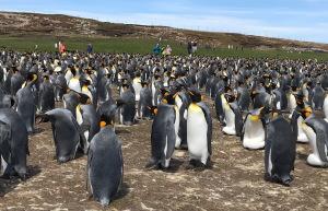 Königs-Pinguine