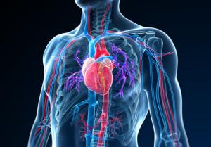 Herz-Kreislaufsystem Grafik