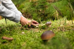 Person schneidet Pilz vom Boden ab