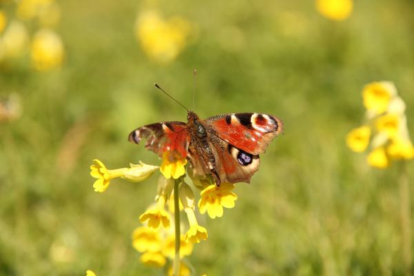Schmetterling auf einer Schlüsselblume