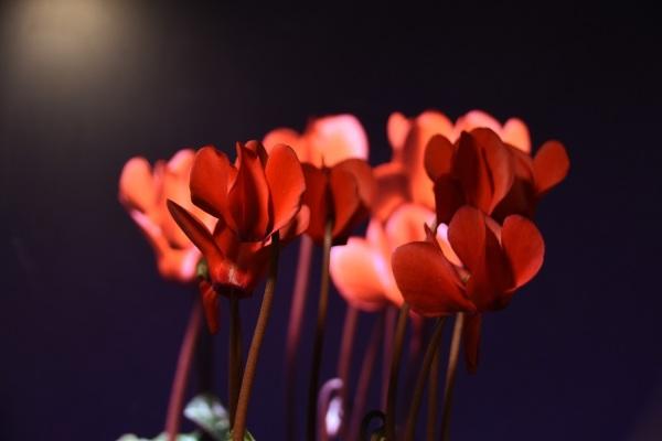 rote Veilchen vor roten Veilchen
