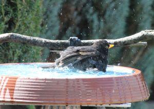 Amselmännchen badet