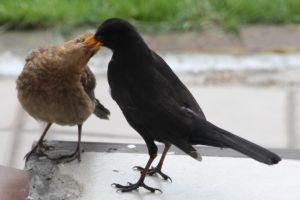 Amselvater füttert Junges