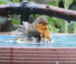 Rotkehlchen badet